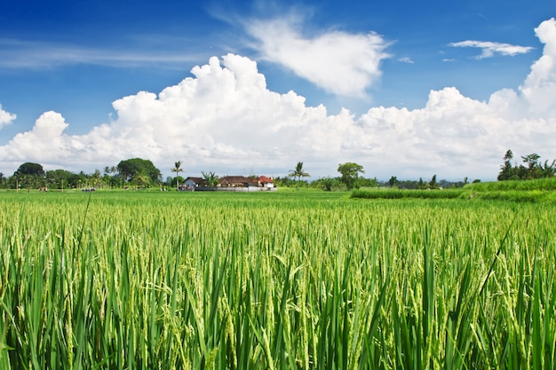 Terraza de arroz de belleza