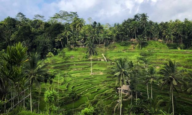 Terraza de arroz de tegallalang, ubud, bali