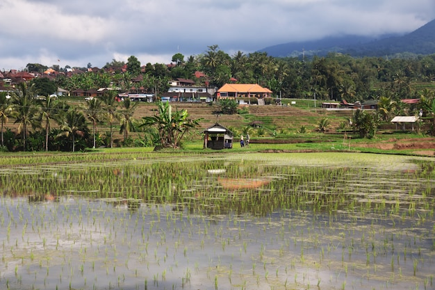 Las terrazas de arroz en bali, indonesia