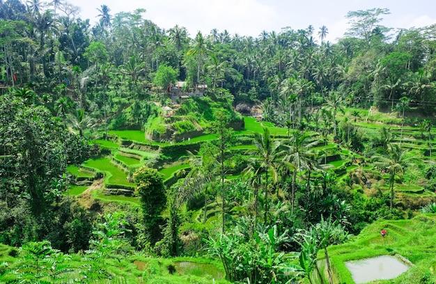 Terrazas de arroz. campos de arroz tradicional en bali. granja de campo de arroz verde