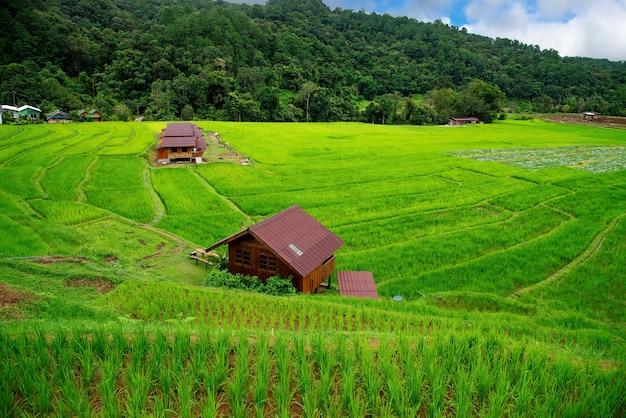 Terrazas de campo de arroz en mae klang luang, homestay chiangmai, tailandia