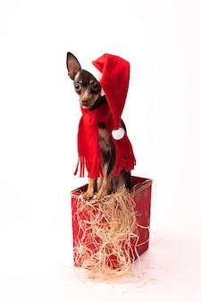 Terrier cachorro en una caja roja de navidad.