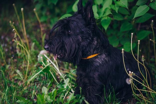 Terrier escocés está posando en una hierba verde
