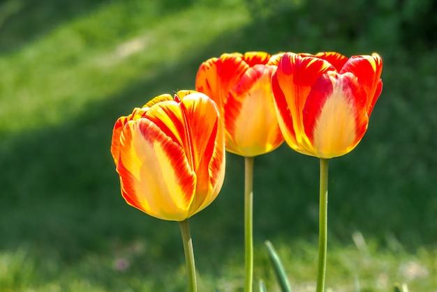 Terry amarillo con tulipán rojo closeup