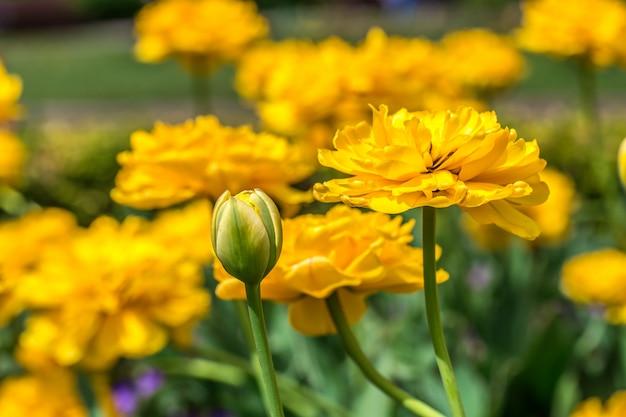 Terry tulipanes amarillos en el macizo de flores