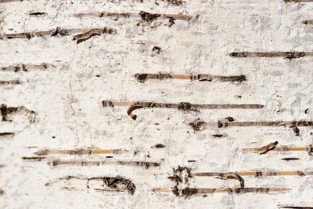 Textura de corteza de abedul