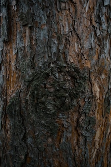 Textura de corteza de árbol. tronco de pino de cerca.
