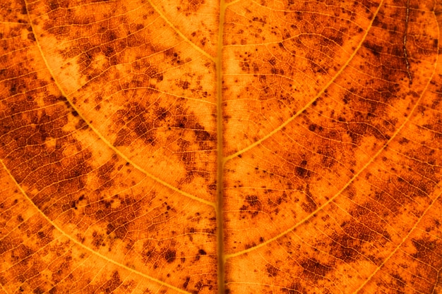 Textura y detalle de hojas secas de naranja - fondo