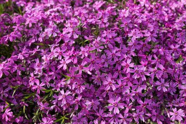 Textura de flores de primavera púrpura