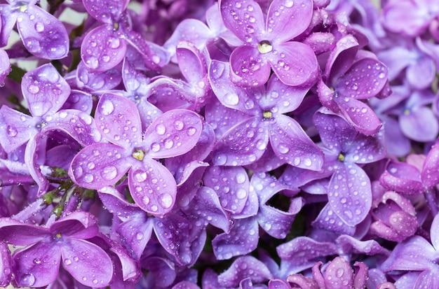 Textura de flores violeta lila primavera con gotas de agua