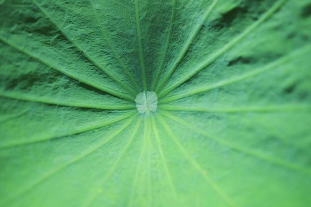 Textura y fondo de hojas de loto