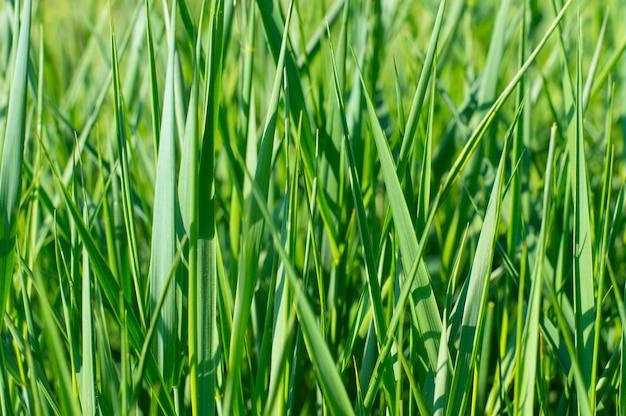 Textura fondo verde hierba