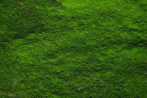 Textura y fondo verdes del musgo