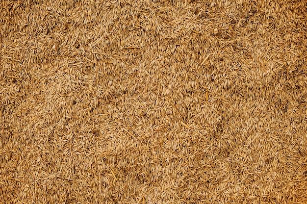Textura de grano de trigo malteado. concepto de cosecha rica. primer plano de los granos.