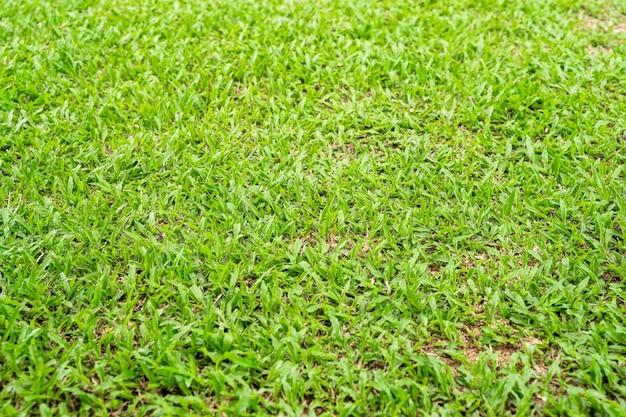 Textura de hierba verde para el fondo. fondo de textura y patrón de césped verde. de cerca.