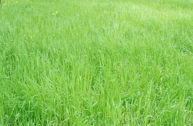 Textura de hierba verde o fondo de césped