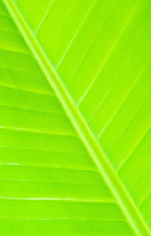 Textura de hoja de plátano color verde.