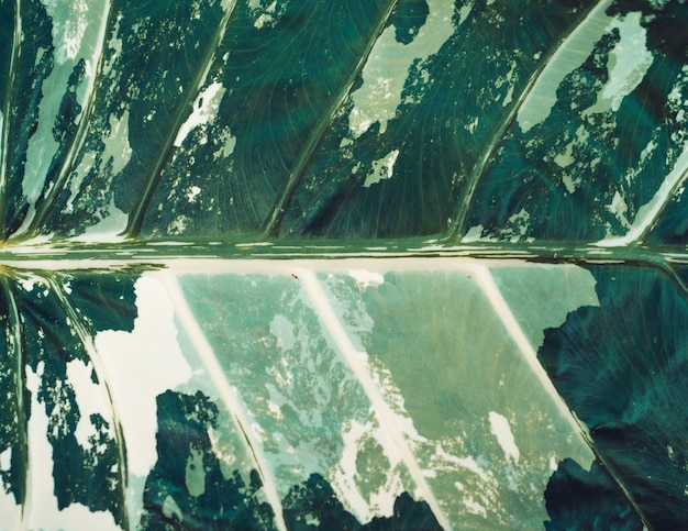 Textura de una hoja verde y blanca