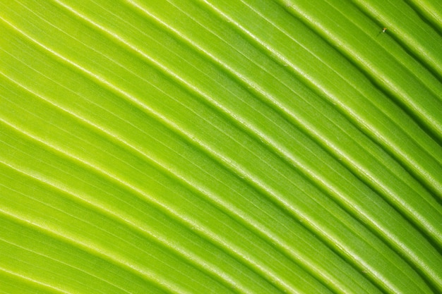 Textura de hoja verde fresca con fondo macro vena