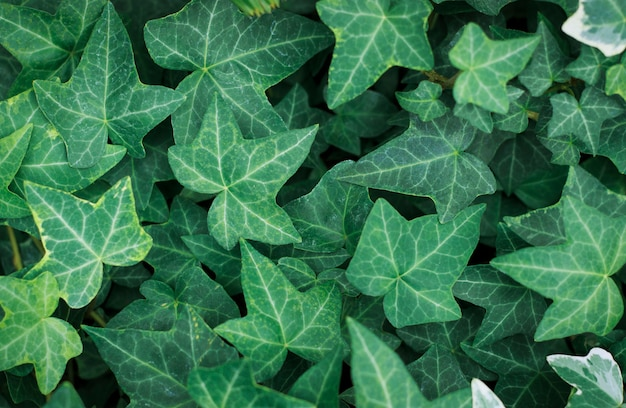 Textura de hojas verdes, fondo natural.