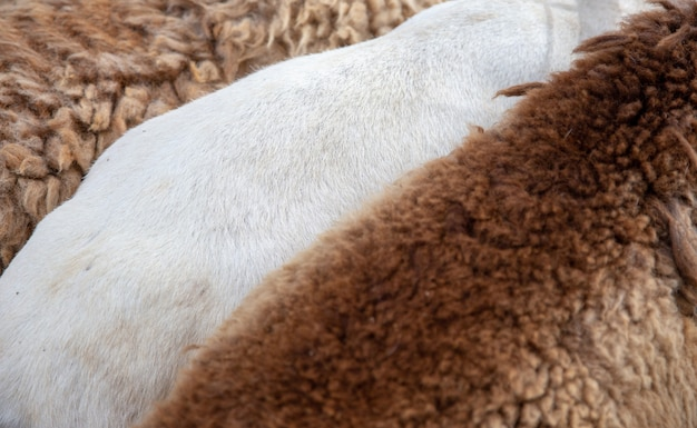 Textura larga de lana de oveja para prendas textiles