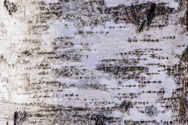 Textura de madera, corteza de abedul natural