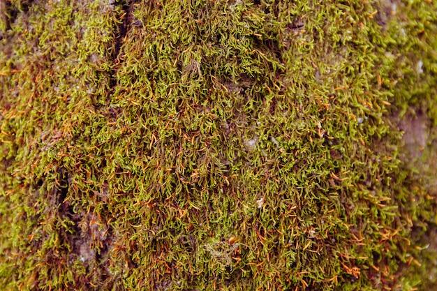 Textura o fondo del musgo