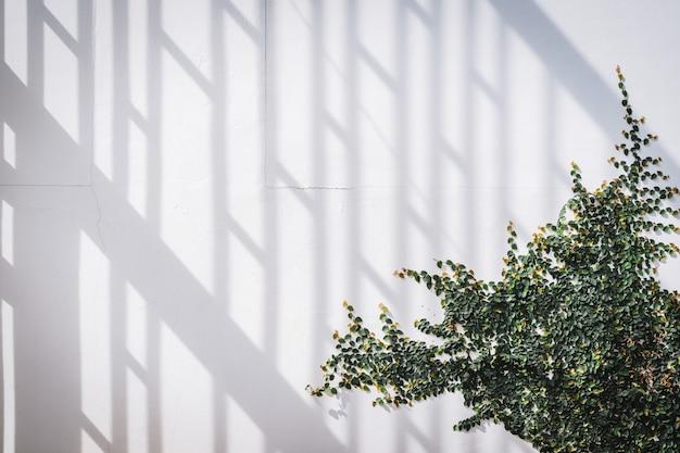 Textura de pared blanca con planta trepadora verde