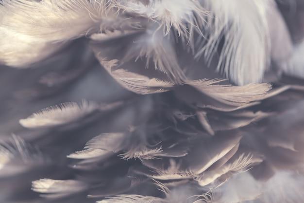 Textura de plumas de gallinas para el fondo
