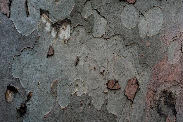 Textura de sicómoro de corteza de árbol