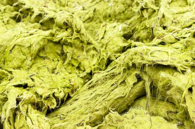 Textura verde del fondo de la alga marina en la playa. concepto de ecología y desastres naturales.