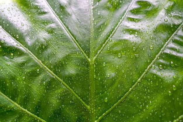 Textura verde hermosa de la hoja con gotas del agua en llover día.