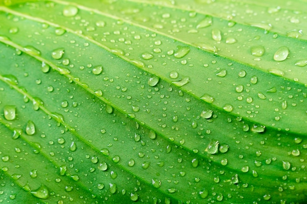Textura verde de la hoja del primer con la gota de agua. fondo fresco de la naturaleza.