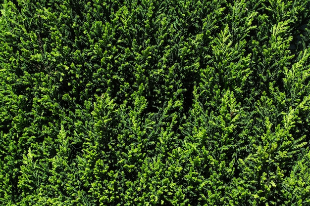 Textura verde de seto
