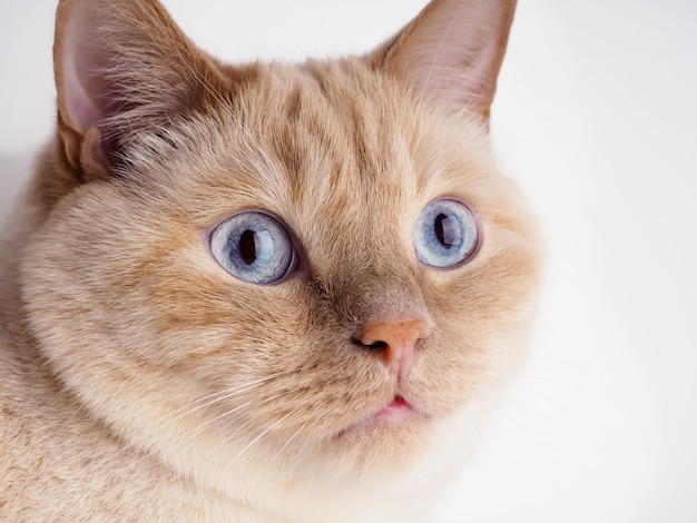 Thai cream point cat, gato blanco con nariz roja y cola en la pared blanca