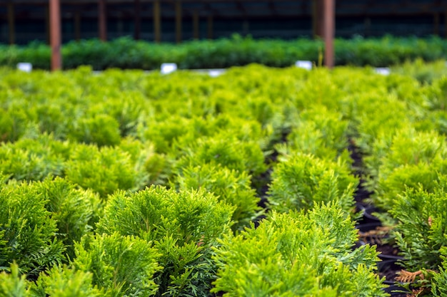 Thui en macetas, en el mercado para la venta de material decorativo de siembra.