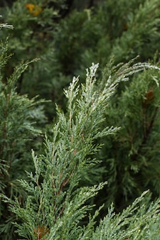 Thuja, árbol de hoja perenne. textura de hojas de thuja con gotas de lluvia