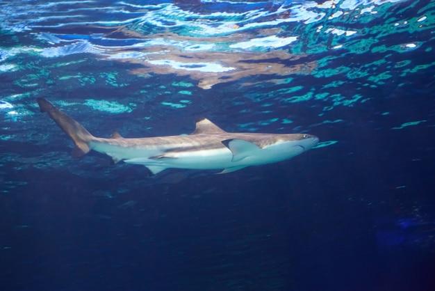 Tiburón de arrecife del caribe (carcharhinus perezii) en el agua del océano azul
