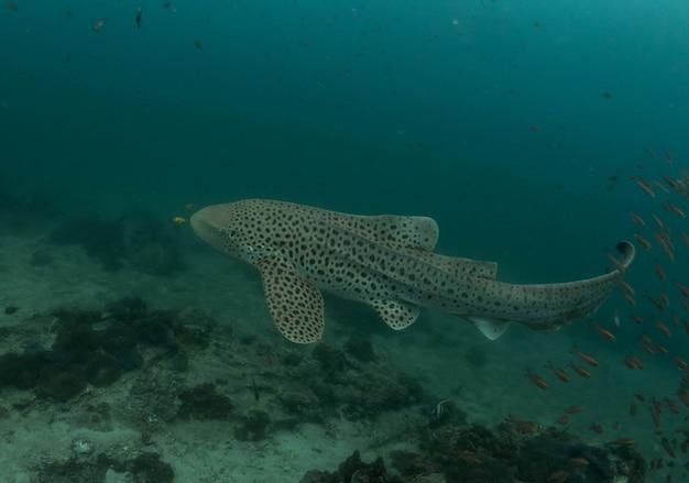 Tiburón cebra en arrecife de coral