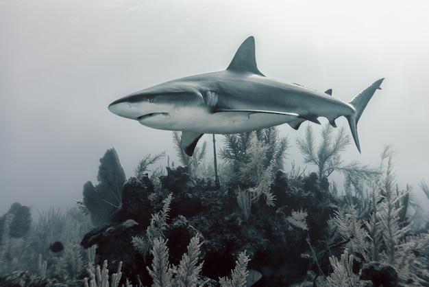 Tiburón nadando sobre corales