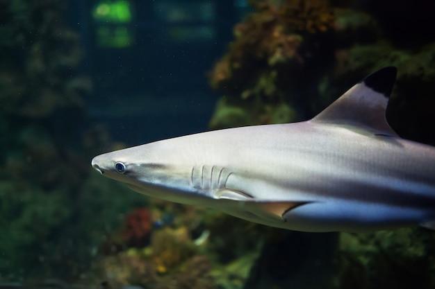 Tiburones de punta negra que nadan en aguas tropicales sobre arrecifes de coral