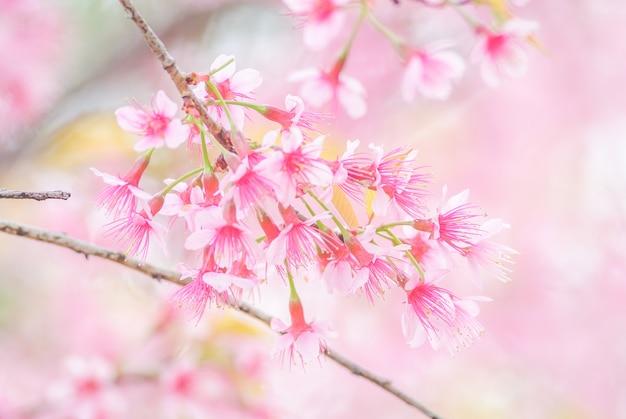 Tiempo de primavera con hermosas flores de cerezo, flores de sakura rosa.