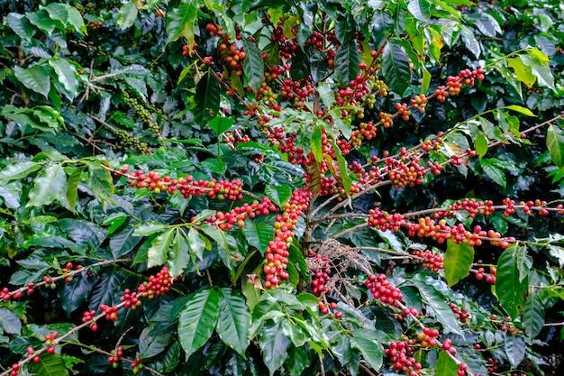 Tierras de cultivo de plantaciones de café rojo crudo