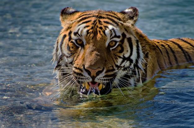 Tiger realxing en una piscina. dejar correr el agua sobre los dientes y la lengua