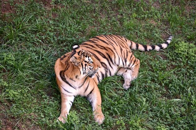 Tigre adulto grande tirado en el pasto verde