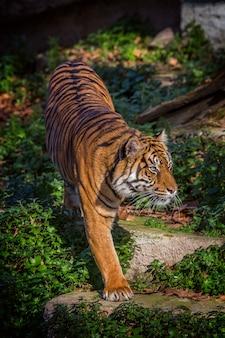 Tigre asiático en el zoológico de barcelona, españa