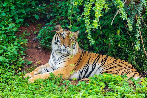 Tigre de bengala descansando en el bosque