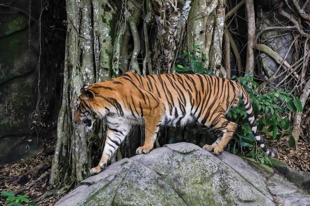 El tigre de bengala es un animal salvaje en la roca en el bosque.