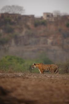 Tigre de bengala real salvaje en el hábitat natural del parque nacional ranthambhore