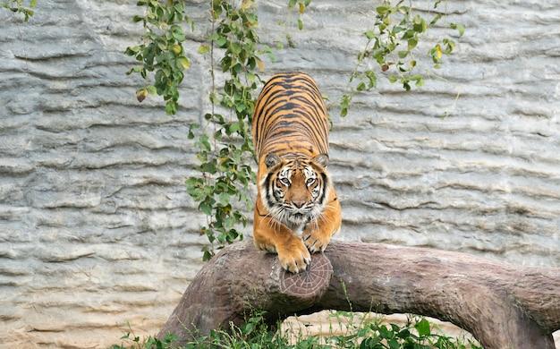 Tigre de bengala en el zoológico